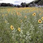 財田町ひまわり畑